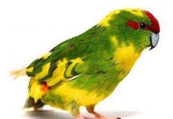 Новозеландские попугаи оптом