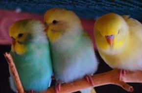 Волнистые попугаи оптом