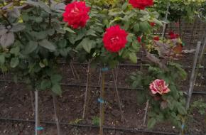 Розы штамбовые, рябина шаровидная, доставка по Украине